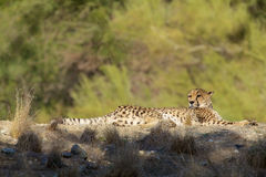 Bedded Cheetah Royalty Free Stock Image