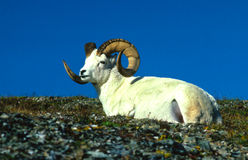 Bedded Dall Sheep Ram Stock Images