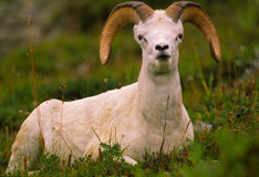 Bedded Dall Sheep Ram Royalty Free Stock Photos