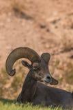 Bedded Desert Bighorn Ram Royalty Free Stock Images