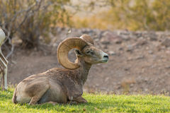 Bedded Desert Bighorn Sheep Ram Stock Photos