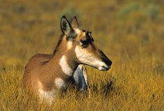 Bedded Doe Antelope Stock Photos