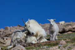 Bedded Mountain Goat Nanny and Baby Stock Images