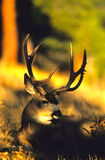 Bedded Mule Deer Buck Royalty Free Stock Photography