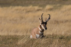 Bedded Pronghorn Antelope Buck Stock Photos