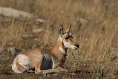 Bedded Pronghorn Antelope Fawn Stock Photos