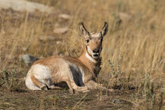 Bedded Pronghorn Antelope Fawn Royalty Free Stock Photos