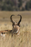Bedded Pronghorn Buck Royalty Free Stock Photography