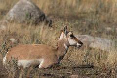 Bedded Pronghorn Doe Royalty Free Stock Photography