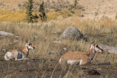 Bedded Pronghorn Doe and Fawn Royalty Free Stock Photography