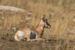 Bedded Pronghorn Fawn Stock Image
