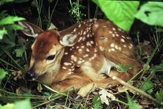 Bedded Whitetail Deer Fawn Royalty Free Stock Photos