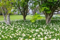 Bedden van witte narcissen en gele gele narcissen in het openbare park in Barnett ` s Desmesne in recent April vlak vóór de bloei Royalty-vrije Stock Foto