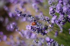 Beddewants op lavendel Stock Foto's