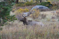 Bedding elk. A Rocky Mountain Elk rest in the hills of Colorado Royalty Free Stock Image