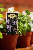 Bedding plants Bacopa watered A Stock Photos