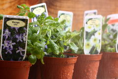 Bedding plants Bacopa watering A Stock Image