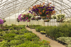 Bedding Plants in a Greenhouse Stock Image