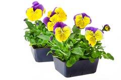 Bedding Plants Stock Photography