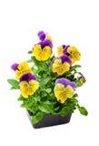 Bedding Plants Royalty Free Stock Photo