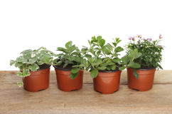 Bedding plants Stock Photos