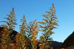 Bedecken Sie Blume auf gelber goldener Farbe mit Hintergrundgebirgszug und blauem Himmel mit Gras Lizenzfreies Stockfoto