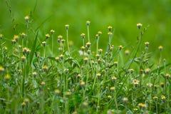 bedecken Sie Blume, grüne Blätter, grüner Hintergrund mit Gras stockbild