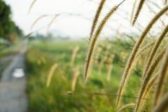Bedecken Sie Blumen bei Sonnenaufgang am Feld des ungeschälten Reises mit Gras Lizenzfreie Stockfotos