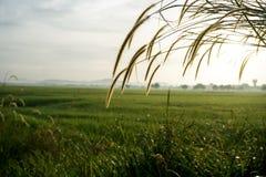 Bedecken Sie Blumen bei Sonnenaufgang am Feld des ungeschälten Reises mit Gras Stockfoto