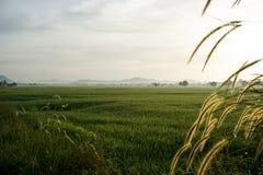 Bedecken Sie Blumen bei Sonnenaufgang am Feld des ungeschälten Reises mit Gras Stockfotografie