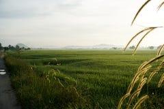 Bedecken Sie Blumen bei Sonnenaufgang am Feld des ungeschälten Reises mit Gras Stockfotos
