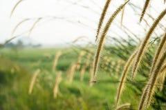 Bedecken Sie Blumen bei Sonnenaufgang am Feld des ungeschälten Reises mit Gras Lizenzfreies Stockfoto