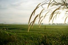 Bedecken Sie Blumen bei Sonnenaufgang am Feld des ungeschälten Reises mit Gras Lizenzfreies Stockbild