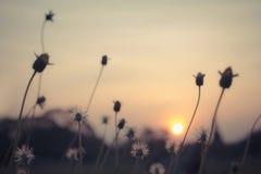 Bedecken Sie Blumen im Sonnenuntergang, Weinlesefiltereffekt mit Gras Lizenzfreie Stockfotos