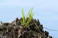 Bedecken Sie das Büschel mit Gras, das von einem toten Baumstumpf wächst Lizenzfreie Stockfotos