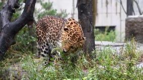Bedecken Sie das Essen des Leoparden in einem Park an einem sonnigen Tag nahe Baum mit Gras stock video