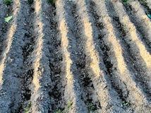 Bedecken Sie die Reihen mit Erde, die für Plantage von Kartoffeln, natürlicher Hintergrund vorbereitet werden Stockbilder