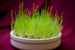 Bedecken Sie für Katzennahaufnahme mit Gras Stockbild