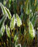 Bedecken Sie Samen-Köpfe mit dem Sonnenlicht mit Gras, das durch silberne Grannen glänzt Stockfotografie