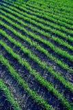 Bedecken Sie Sprösslinge eines Feldes mit Gras Stockbilder