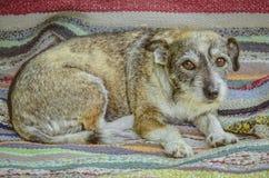 Bedekte weinig hond met littekens Royalty-vrije Stock Afbeeldingen