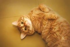 Bedelaar Cat Stock Afbeelding