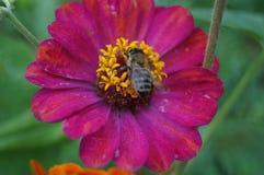 Bedeutende Blume, Lizenzfreies Stockbild