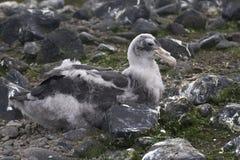 Bedeutendes südliches Küken des riesigen Sturmvogels, das sitzt Lizenzfreie Stockfotos
