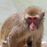 Bedeutungsvoller Blick eines Makakenaffen Stockfotos