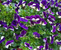 Bedflower of purple and white violas Royalty Free Stock Images