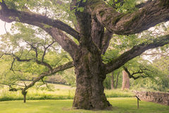 Bedford Oak Royalty Free Stock Images