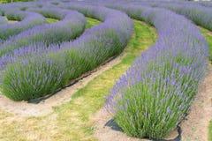 Bedingung der vollen Blüte des Lavendelblumenfeldes in einer Rolle stockfotos