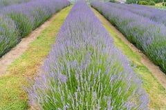 Bedingung der vollen Blüte des Lavendelfeldes in einer Rolle stockfoto