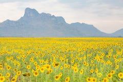 Bedingung der vollen Blüte des Sonnenblumenfelds mit Gebirgshintergrund lizenzfreies stockfoto